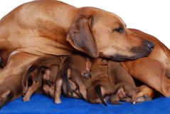 Dog with puppies. A purebred Rhodesian Ridgeback dam warming and protecting her two weeks old puppies. Image isolated on white studio background