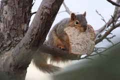 Giving thanks. A squirrel protecting his treasure - a slice of bread Stock Photos