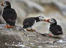 Giz a kiss. Two Atlantic puffins show a bit of romance, to the distaste of another Royalty Free Stock Images