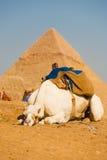λυπημένο λευκό πυραμίδων giza καμηλών του Καίρου Στοκ Φωτογραφία