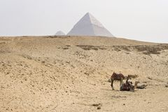 Giza camels Stock Images