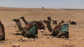Giza pyramids in Egypt camels waiting stock video footage