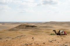Giza Necropolis. Egypt. Camel at the Giza Necropolis, Giza Plateau, Egypt. UNESCO World Heritage Stock Images