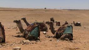 Giza ostrosłupy w Egipt wielbłądów czekać zdjęcie wideo