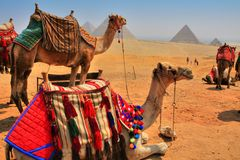 Giza-Pyramiden und Kamele Stockbilder