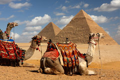 Giza Pyramids. In egypt with camels in foreground Royalty Free Stock Photos