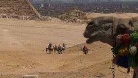 Giza pyramids in Egypt camels with people on them stock video