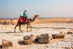 GIZEH, EGYPTE FÉVRIER 2010 : Bédouin sur le chameau Photos libres de droits
