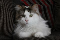 Gizmo the Maine Coon Royalty Free Stock Photo