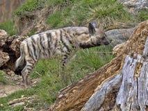 Gjord randig hyena, Hyaena sultaninnahyaena som söker efter mat royaltyfria foton