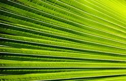 Gjort randig av palmbladet, bakgrund för abstrakt begreppgräsplantextur Arkivbild