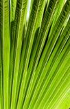Gjort randig av palmbladet, bakgrund för abstrakt begreppgräsplantextur Royaltyfri Bild