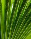 Gjort randig av palmbladet, bakgrund för abstrakt begreppgräsplantextur Royaltyfria Bilder