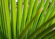Gjort randig av palmbladet, bakgrund för abstrakt begreppgräsplantextur Royaltyfri Foto