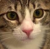 Gjort randig med den vita shorthairkattungen Fotografering för Bildbyråer