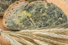 Gjuta att växa snabbt på mögligt bröd i gröna och vita spor arkivbild