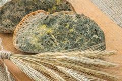 Gjuta att växa snabbt på mögligt bröd i gröna och vita spor royaltyfri bild