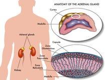 Glándula suprarrenal stock de ilustración