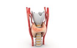 Glándula tiroides Imagen de archivo libre de regalías