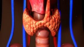 Glándula tiroides foto de archivo libre de regalías
