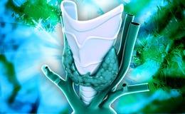 Glândula de paratireoide da glândula endócrina Imagem de Stock