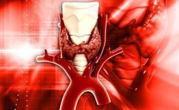 Glândula de paratireoide da glândula endócrina Fotos de Stock