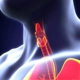 Glândula de tiroide humana Fotos de Stock Royalty Free