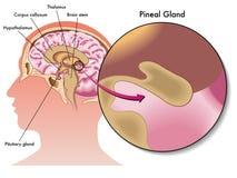 Glândula pineal Fotografia de Stock Royalty Free