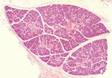 Glândula submandibular humana fotografia de stock