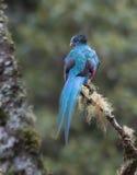 Glänsande Quetzal, Pharomachrus mocinno Arkivbild