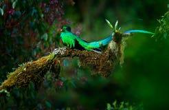 Glänsande Quetzal, Pharomachrus mocinno, storartad sakral grön fågel från Savegre i Panama Sällsynt magiskt djur i bergtro Royaltyfria Foton