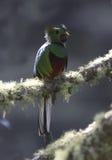 Glänsande Quetzal & x28; Pharomachrus mocinno& x29; Fotografering för Bildbyråer