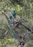 Glänsande QuetzalPharomachrus mocinno Fotografering för Bildbyråer