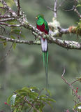 Glänsande QuetzalPharomachrus mocinno Royaltyfri Fotografi