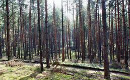 Glänsande sol i skogen Fotografering för Bildbyråer