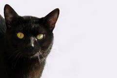 Glänsande svart pälskatt royaltyfri fotografi