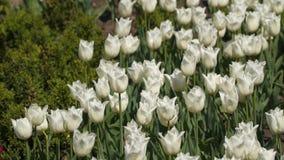 Glänta av vita tulpan stock video