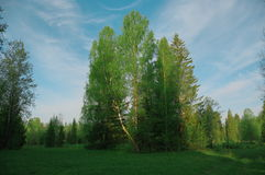Glänta i skogmorgonbjörken, säsong Royaltyfria Bilder
