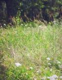 Gläntagräs Royaltyfria Bilder
