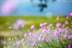 Gläntan av lilor blommar, purpurfärgad blom- bakgrund, aromatiskt plan Royaltyfri Bild