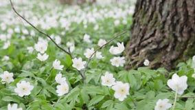 Gläntan med skogen för snödroppar blommar på våren att svänga i vinden stock video