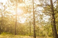 Glänzende Abflussrinne Sun die Bäume des Waldes Lizenzfreie Stockfotografie