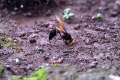 Glänzende braune geflügelte schwarze Wespe gehockt aus den Grund stockbild