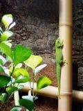 Glänzende grüne Eidechse Stockbild
