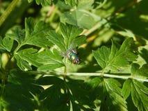 Glänzende grüne Fliege, die auf Blättern stillsteht Lizenzfreies Stockfoto