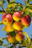 Glänzende köstliche Äpfel Stockfotografie