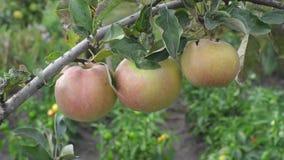 Glänzende köstliche Äpfel, die von einem Baumast hängen stock video