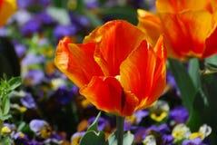 Glänzende Leuchtorange und rote blühende Tulpen in einem Garten Stockfotografie