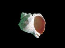 Glänzende makro einzelne Muschel Stockfotos