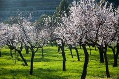 Glänzende Mandelbäume auf grünem Gras. Stockfoto